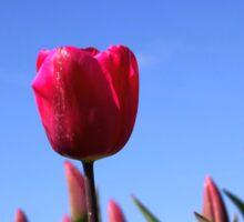 Red Tulips in Blue Sky Sticker