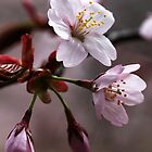 Cherry Blossoms by Debbie Oppermann