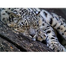 Sleeping Snow Leopard Photographic Print