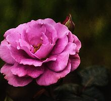 Old Fashioned Rose by zzsuzsa