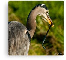 Blue Heron with a Snake in its Bill Canvas Print