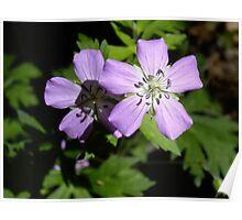 Wild Geraniums Poster