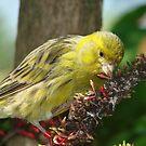 Yellow Finch by Jason Pepe