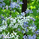 Woodland Phlox by lorilee