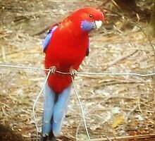 *Inquisitive Rosella at Sassafras, Vic. Australia* by EdsMum