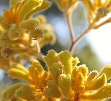 Yellow Kangaroo Paw  by Margaret Stanton