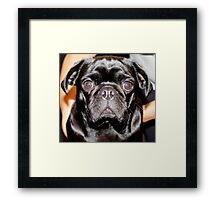 Blue Eyed Pug Framed Print