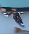 Kookaburra in Flight by KazM