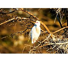 Cattle Egret at Green Cay Wetlands Photographic Print