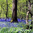 A Sea of Bluebells by mikebov