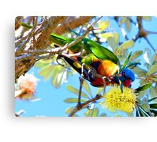 Rainbow Lorikeet feeding on Banksia tree flowers. Canvas Print