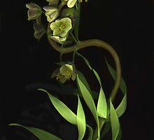 Fritillaria ~ With A Curve by Barbara Wyeth