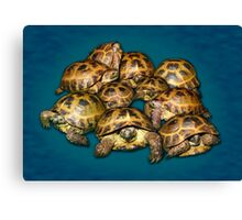 Greek Tortoise Group on Gray-Blue Background Canvas Print