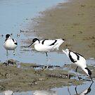 Avocet Trio by CreativeEm