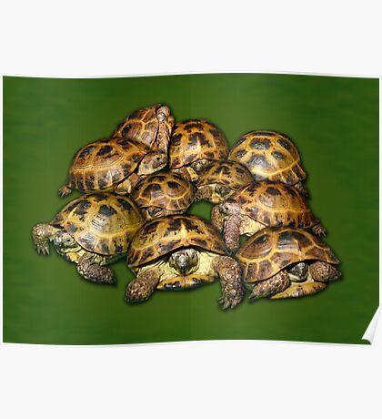 Greek Tortoise Group on Darn Green Background Poster