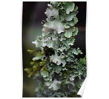 lichen Poster
