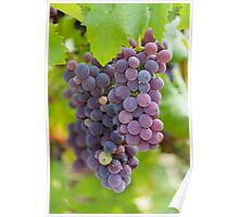 grape and vineyard Poster