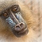 Baboon  by Selina Ryles