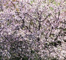 Apple Tree In Blossom Sticker