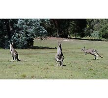 Trio of kangaroos Photographic Print