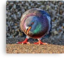 A frontal photography of a pretty Dove  Canvas Print