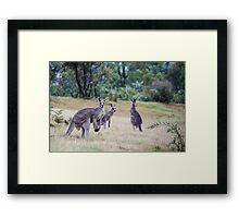 Kangaroo Trio Framed Print