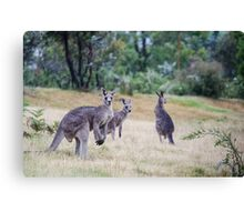 Kangaroo Trio Canvas Print