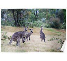 Kangaroo Trio Poster