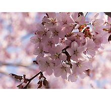 Pink Spring - A Cloud of Delicate Cherry Blossoms Photographic Print