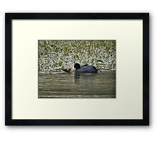 Coot and Young Framed Print