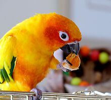 An Orange Feast - Sun Conure  by AndreaEL