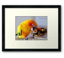 An Orange Feast - Sun Conure  Framed Print