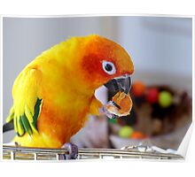 An Orange Feast - Sun Conure  Poster