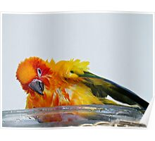 A Bath With A Smile - Sun Conure  Poster