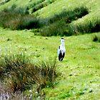 Beautiful grey heron by widdy170