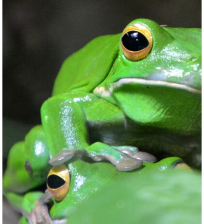 Green Tree Frogs Sticker