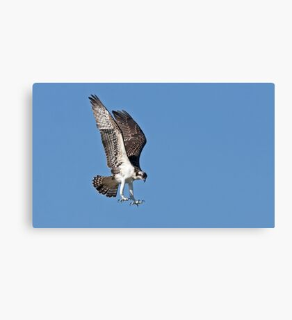 In for the kill - Osprey Canvas Print