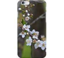 Cherry Blossoms during springtime iPhone Case/Skin