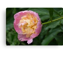 Petals and Drops - Soft Pink Peony Canvas Print