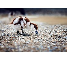 Paradise Duckling Photographic Print