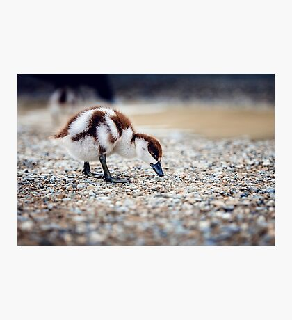 Paradise Duckling Photographic Print