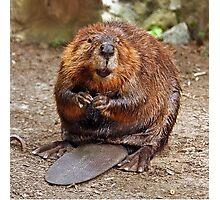 """Beaver"" Photographic Print"