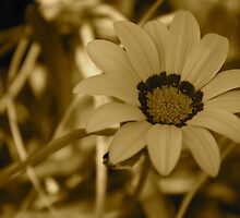 Beachside daisy (sepia) by Margaret Stanton