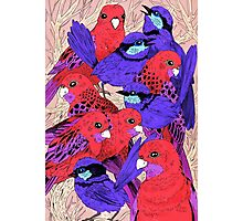 Wrens and Rosellas Delight! Photographic Print