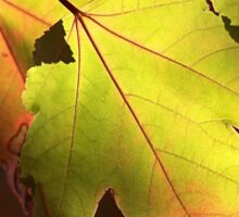 Maple Leaves Sticker