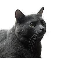 large grey cat isolated on white background Photographic Print