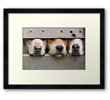 Three foxhounds looking out of trailer Framed Print