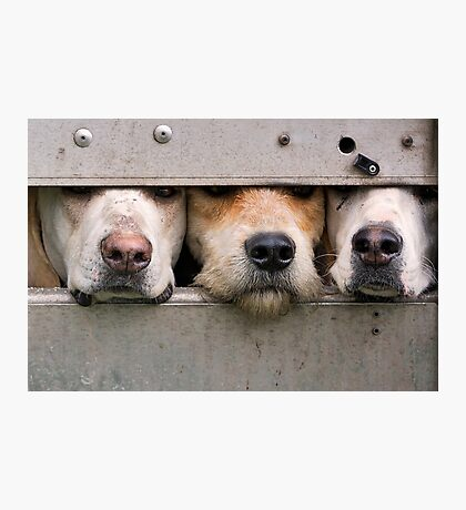 Three foxhounds looking out of trailer Photographic Print