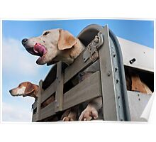 Foxhounds looking out of trailer Poster