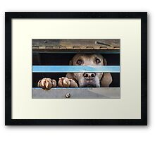 Foxhound looking out of trailer Framed Print